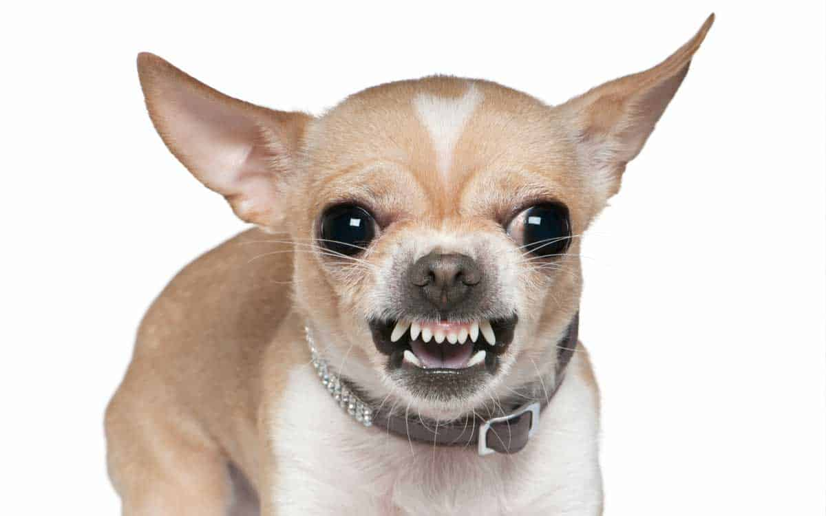 Lovely Chihuahua - Chihuahuas Wallpaper (16093415) - Fanpop